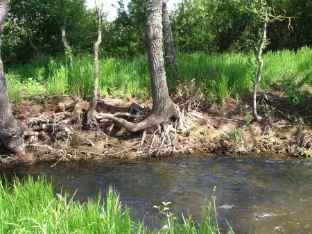 Raíz de árbol en la ribera del río Castrón (Zamora)