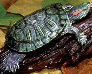 Especímen de galápago de florida; también conocida como tortuga de orejas rojas